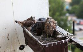 chronione ptaki na balkonie