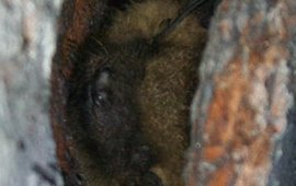 Mroczek późny, zdjęcie wykonane podczas sporządzania opinii chiropterologicznej.
