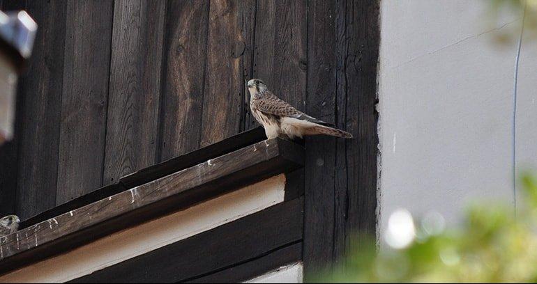 Opinia ornitologiczna i chiropterologiczna. Pustułka na wieży Miejskiego Ośrodka Kultury.