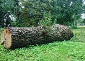 Przy wycince drzew należy pamiętać, że mogą w nich gniazdować ptaki.
